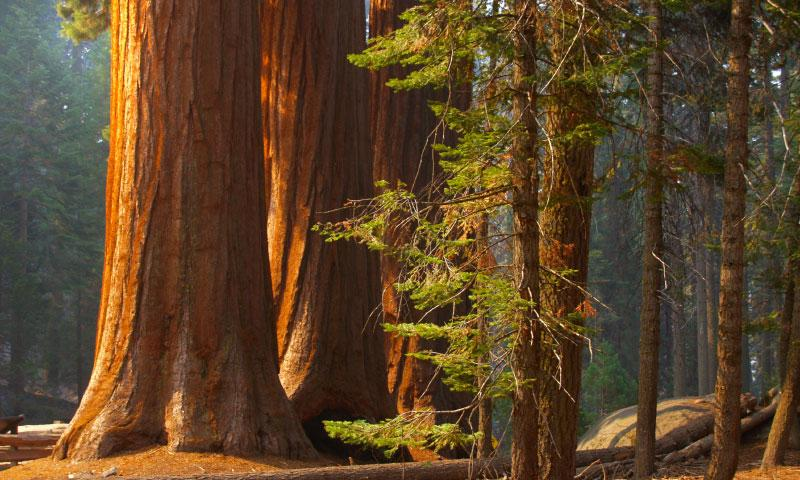 Huge trunks in Sequoia National Park