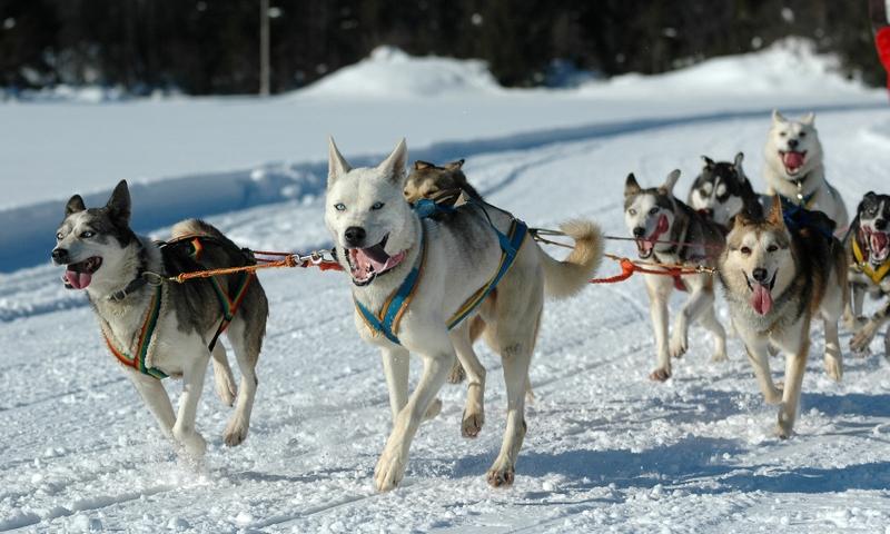 Dog Sled Sledding